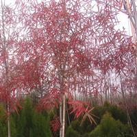 茶花哪里*多? 柳栎新品种  柳栎价格 香樟