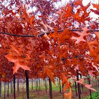 沼生栎200万现苗供应 正宗沼生栎 中国沼生栎 小苗供应 雪