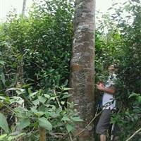 博罗县出售沉香大树,沉香木价格,沉香木行情
