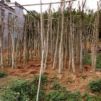 沉香苗,广东沉香风景树,沉香成品树
