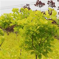 金叶黄栌哪里有供应?江西金叶黄栌小苗选三农 金叶黄栌精品小苗