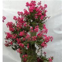 玫瑰红紫薇小苗 最美丽的紫薇花 江西三农 大叶樟