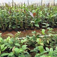 茶花的养殖方法 防普金花茶品种 凹脉金花茶小苗供应