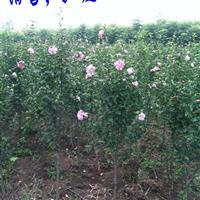 江苏木槿小苗价格,木槿图片,红花木槿供应