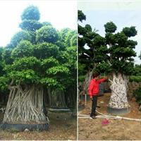 漳州供应榕树桩盆景