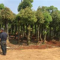 自产自销18-25公分湖南移栽香樟树,移栽香樟