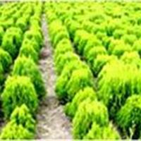 常年供龙柏,金叶女贞,红叶小檗,金叶小檗,雪松,红叶石楠