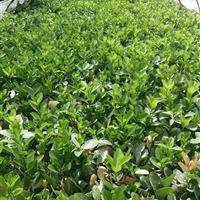 江蘇地區供應大葉黃楊芽苗300萬棵