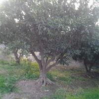 供应大量桔子树 量大优惠 质量保证