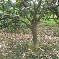 供应各种规格大小桔子树 有需要联系