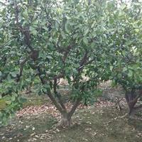 供应大桔子树,小桔子树,质量保证