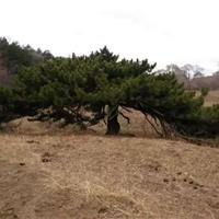 特供:特*油松一棵,大型景观专用