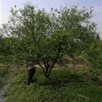 丛生胡柚树,冠福2.5-4.5米,果园,征用,工程,成活好