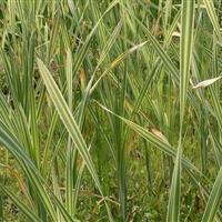 水生植物大量供应,荷花,睡莲,常绿水生鸢尾,再力花,水葱,