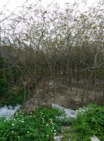 香樟,细叶榄仁,秋枫,风铃木,九里香