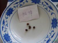 猴樟种子图片\猴樟种子报价