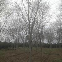 供應江蘇紅櫸樹2-15公分,江蘇紅櫸樹基地