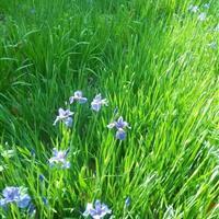常年供应水生 地被植物花菖蒲 梭鱼草 睡莲