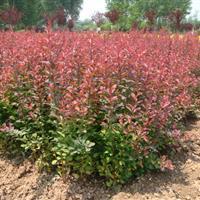 苗圃现有红叶小檗,红王子锦带.金叶女贞.小叶女贞.蜀桧