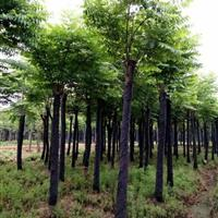 栾树,切杆栾树,黄山栾树,移栽栾树,野生栾树,湖南栾树价格