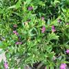 孔雀兰(紫萼距花、满天星)花场直销 低价批发