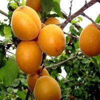 山西杏树·山西18-25公分杏树·山西大规格杏树产地供应价格