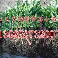 江苏红王子锦带扦插小苗价格,批发直销红王子锦带芽苗种苗价格