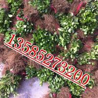 江苏大叶黄杨扦插小苗价格,批发直销大叶黄杨芽苗种苗价格图片