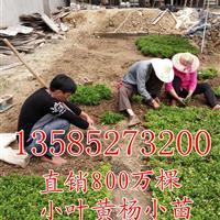 江苏瓜子黄杨扦插小苗价格,批发直销瓜子黄杨芽苗种苗价格图片