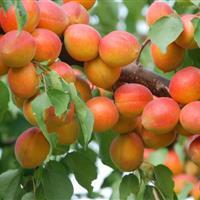 20公分杏树多少钱?哪里有大杏树?山西20公分杏树价格产地?