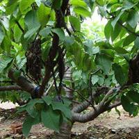 地径15公分樱桃树·20公分大樱桃树30公分大樱桃树价格供应