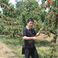 供应大樱桃树、原生大樱桃树、占地樱桃树山西樱桃树批发价格