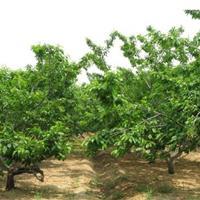15公分樱桃树多少钱?哪有樱桃树?30公分樱桃树价格产地山西
