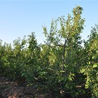 30公分全冠樱桃树图片·占地樱桃树价格·30公分樱桃树供应