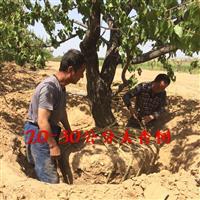杏树种植产地·杏树产地信息·杏树产地山西杏树供应