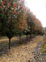 江苏红叶石楠球价格  江苏红叶石楠树价格