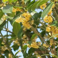 潜山县供应大量桂花,四季桂,桂花树,有需要联系