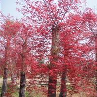 红枫,五角枫,三角枫,红枫价格,日本红枫,红枫行情