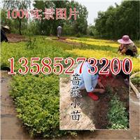 江苏蔷薇扦插小苗价格,批发直销蔷薇芽苗蔷薇种苗蔷薇苗价格图片