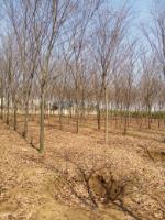 2016年*新櫸樹價格
