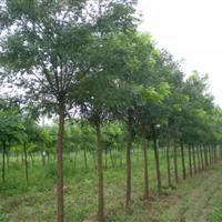 大量批發國槐、高桿女貞、櫻花、楸樹、紫荊綠化苗木