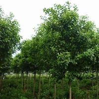 批發常青綠化苗木品種高桿女貞 大葉女貞 多種規格