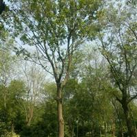 大量批发朴树树苗 朴树小苗 各种规格齐全