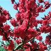 大量批发观花植物红叶碧桃 紫叶碧桃 红花碧桃 紫叶桃 多种规