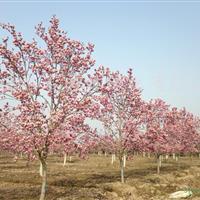 綠化苗木 紅玉蘭 白玉蘭 黃玉蘭 紫玉蘭 廣玉蘭 多種規