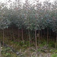红叶石楠树3-5公分和红叶石楠球