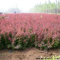 供应彩色绿化苗木红叶小波小苗 紫叶小檗小苗 红叶小波球