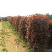 供应彩色绿化苗木红叶石楠小苗 红叶石楠球 红叶石楠柱子