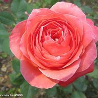 供应月季花苗 嫁接大花月季  高杆月季 红帽月季  黄帽月季