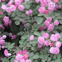 供应攀援植物蔷薇花苗 蔷薇小苗